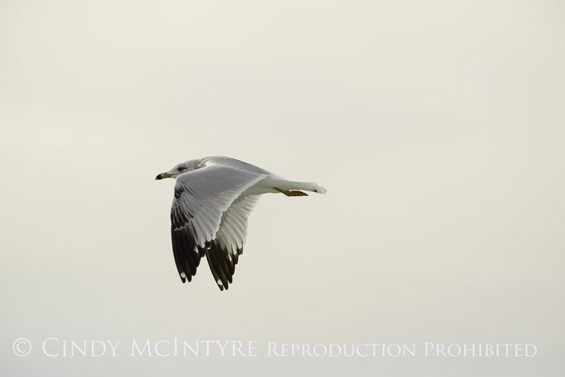 Ring-billed gull imm, Ash Meadows NWR NV (3)