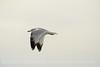 Ring-billed gull imm, Ash Meadows NWR NV (3)