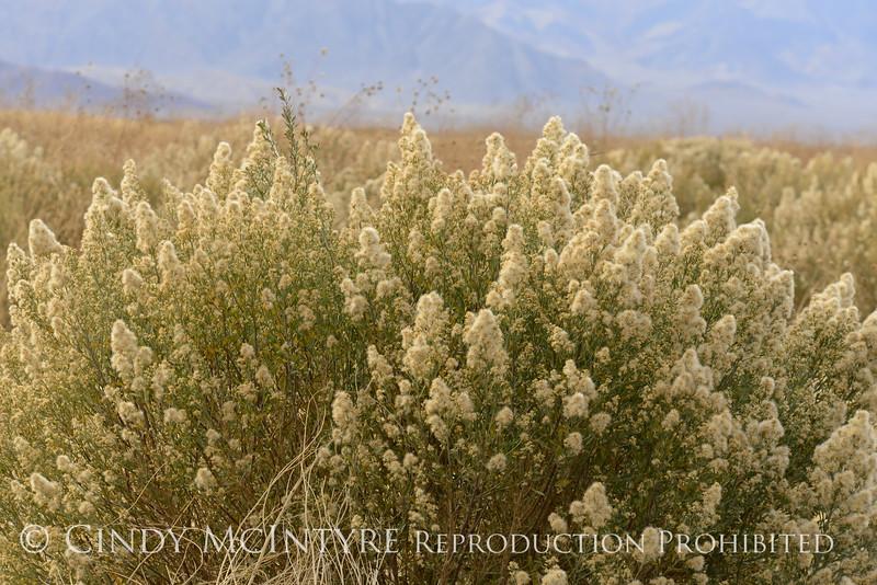 Bacchius, Nevada (2)
