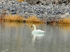 Tundra swan, Ash Meadows NWR NV (2)