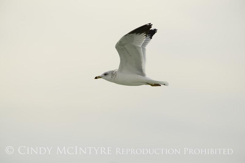 Ring-billed gull imm, Ash Meadows NWR NV (2)