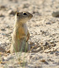 Ground squirrel, SAnd Wash Basin CO