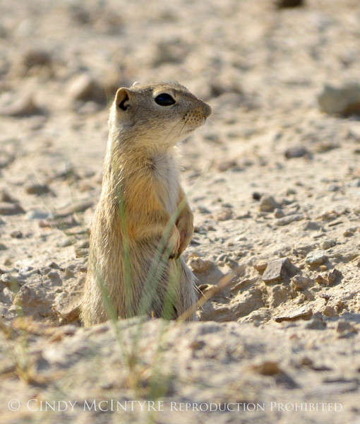 Ground squirrel, SAnd Wash Basin CO (2)
