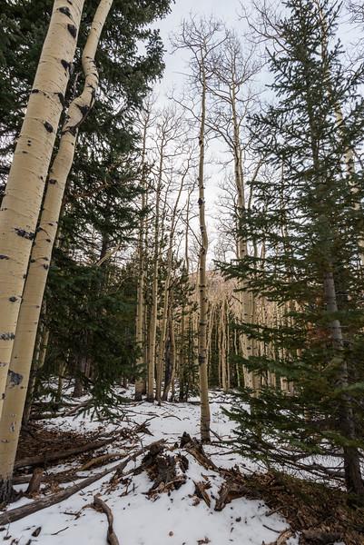 Aspen Forest IV