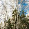 Aspen Forest V