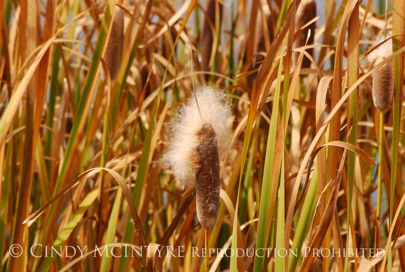 Cattails, Monte Vista NWR CO (11)