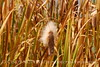 Cattails, Monte Vista NWR CO (11)