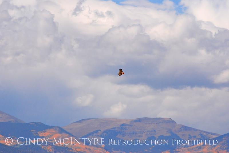 Red-tail Hawk, Monte Vista CO jpg