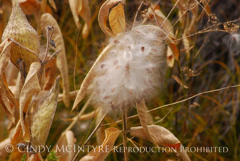 Milkweed seeds, Monte Vista CO (3)