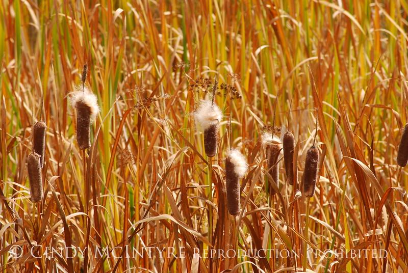 Cattails, Monte Vista NWR CO (10)
