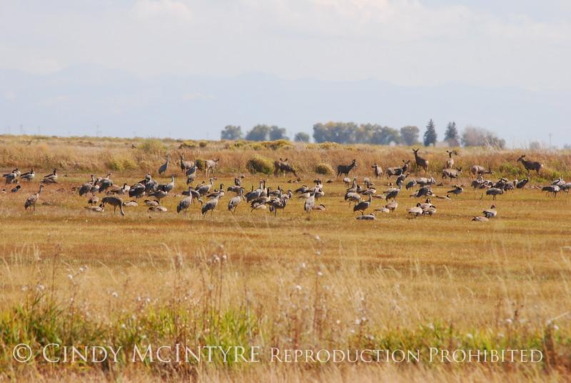 Sandhill Cranes, Canada Geese, Mule Deer, Monte Vista NWR, CO (1)