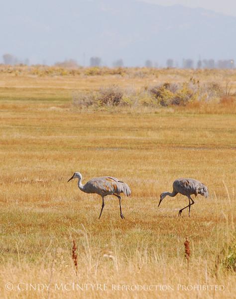 Sandhill Cranes, Monte Vista NWR CO (5)
