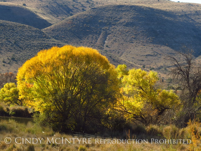 Cottonwoods near Roswell, NM (4)