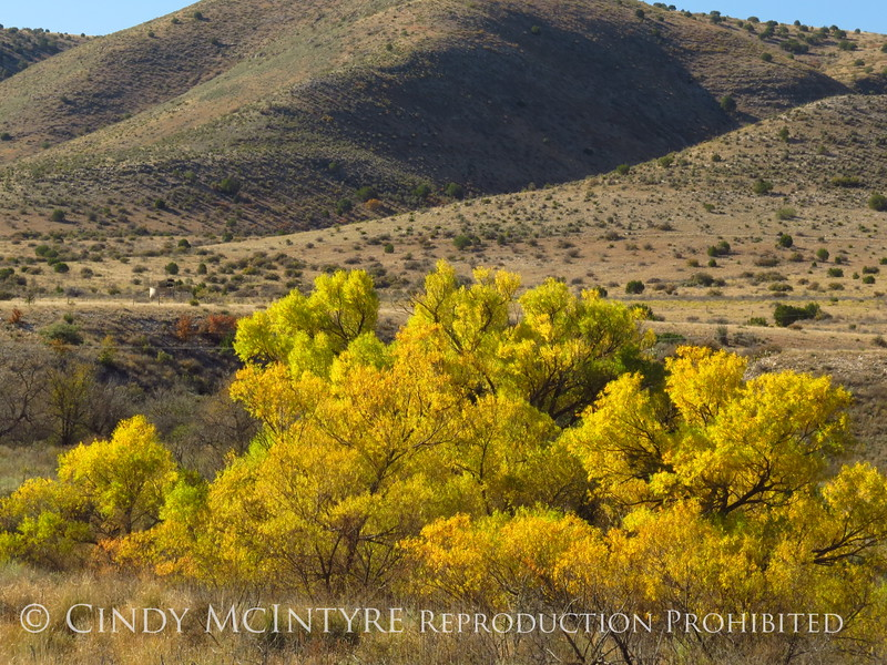 Cottonwoods near Roswell, NM (2)