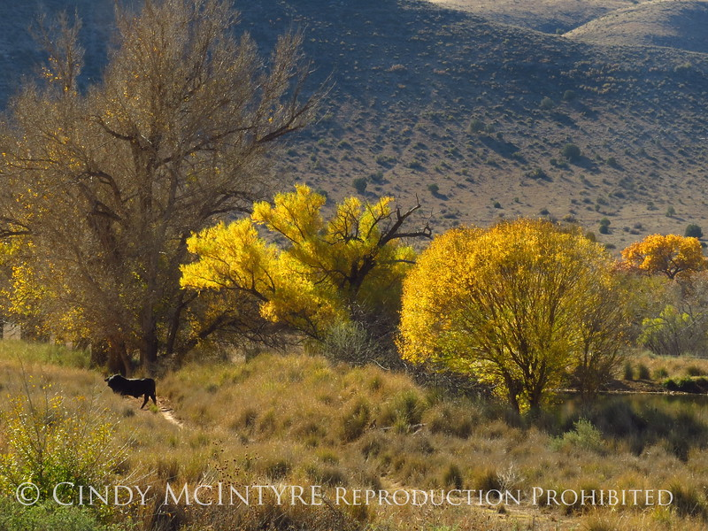 Cottonwoods near Roswell, NM (6)