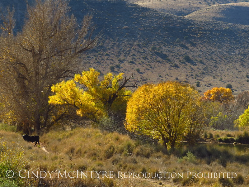 Cottonwoods near Roswell, NM (5)