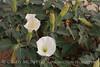 Jimsonweed Datura (2)