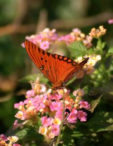 Brazoria Butterfly II
