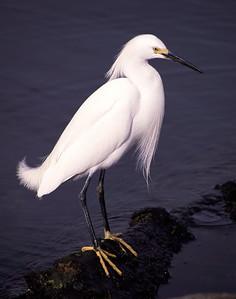 Snowy Egret, Galveston