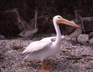 White Pelican with Brown Pelicans