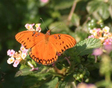 Brazoria Butterfly I