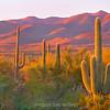 Sunset Saguaros