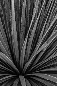 Cactus Details - Tucson, AZ