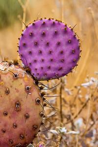 Purple Prickly Pear Cactus