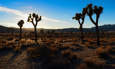 Field of Joshua Trees
