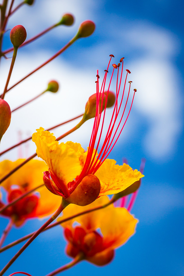 Red Bird of Paradise Bloom