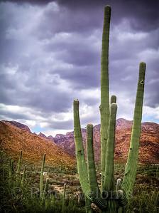 Sonoran Desert Scene