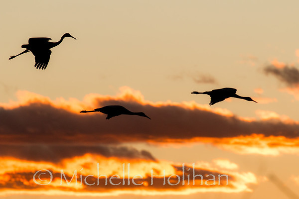 Sandhill cranes silhouetted against the sunset