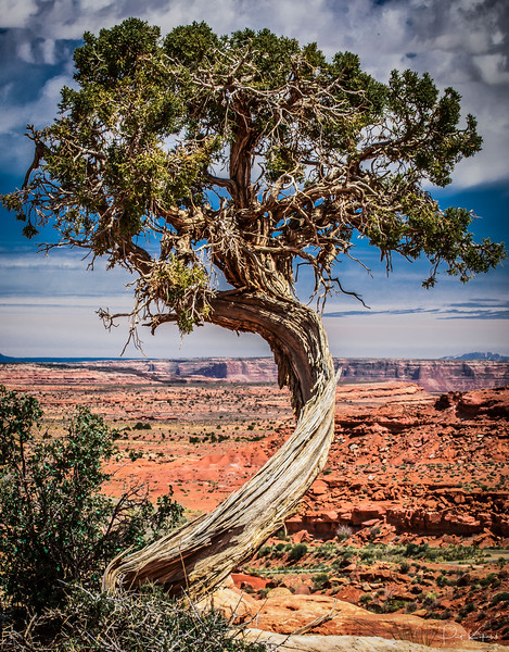 Twisted Juniper - Monument Valley