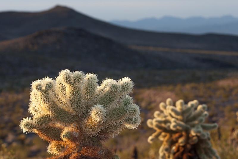 Backlit Cholla Cacti, Route 66, AZ