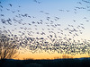 Morning Fly-in I, Bosque del Apache National Wildlife Refuge, NM