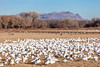 Snow Geese and Sandhill Cranes, Bosque del Apache National Wildlife Refuge, NM