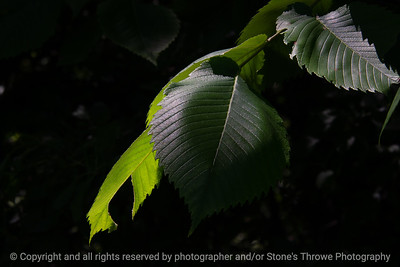 015-leaf_elm-wdsm-11jun20-12x08-008-400-7004