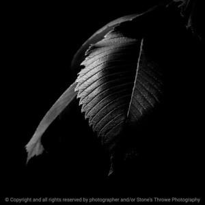 015-leaf_elm-wdsm-11jun20-09x09-006-400-bw-7016