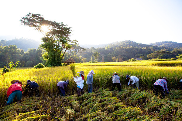 Golden Rice Harvest Chiang Mai, Thailand