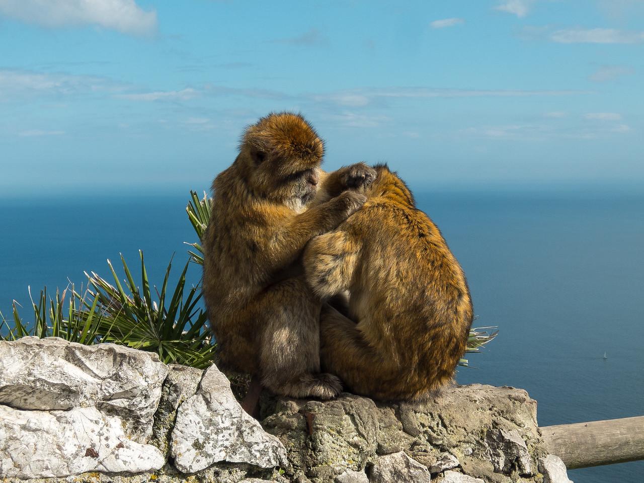 Gibraltar Macacs