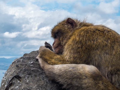 Gibraltar Macac