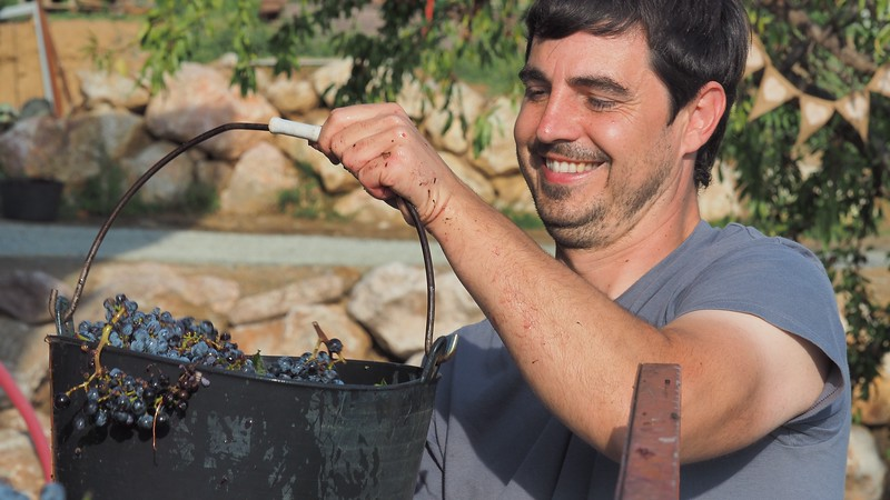 One of the workers from La Vinyeta Cellar (Mollet de Peralada) harvesting grapes with a big smile on his face in Costa Brava