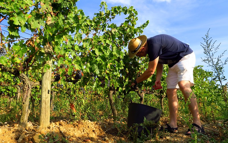 Grape picking in Costa Brava, Spain.