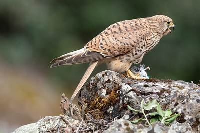 Common Kestral