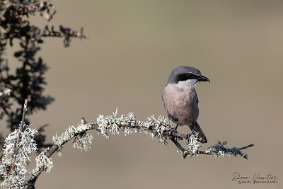 Gray-Winged Shrike