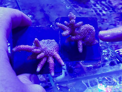 Hybridized coral showing literal split between two phenotypes in one organism! Wow!!
