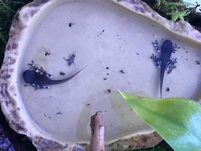 Frogs in the middle of metamorphosing