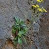 Crepis triasii