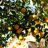 Oranges in Cordoba, Spain