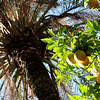 Palm tree and oranges in Cordoba, Spain